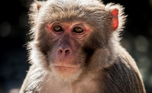 Image of rhesus macaque
