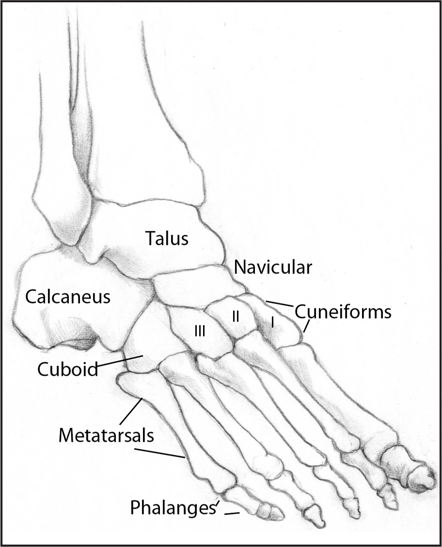 Anatomy of the foot. Published with permission from Winterstein AP. Athletic Training Student Primer: A Foundation for Success, Third Edition (pp. 111–142). © 2018 SLACK Incorporated.
