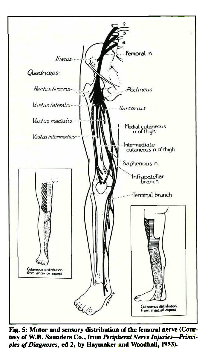 Fig. 5: Motor and sensory distribution of the femoral nerve (Courtesy of W.B. Saunders Co., from Peripheral Nerve Injuries - Principles of Diagnoses, ed 2, by Haymaker and Woodhall, 1953).