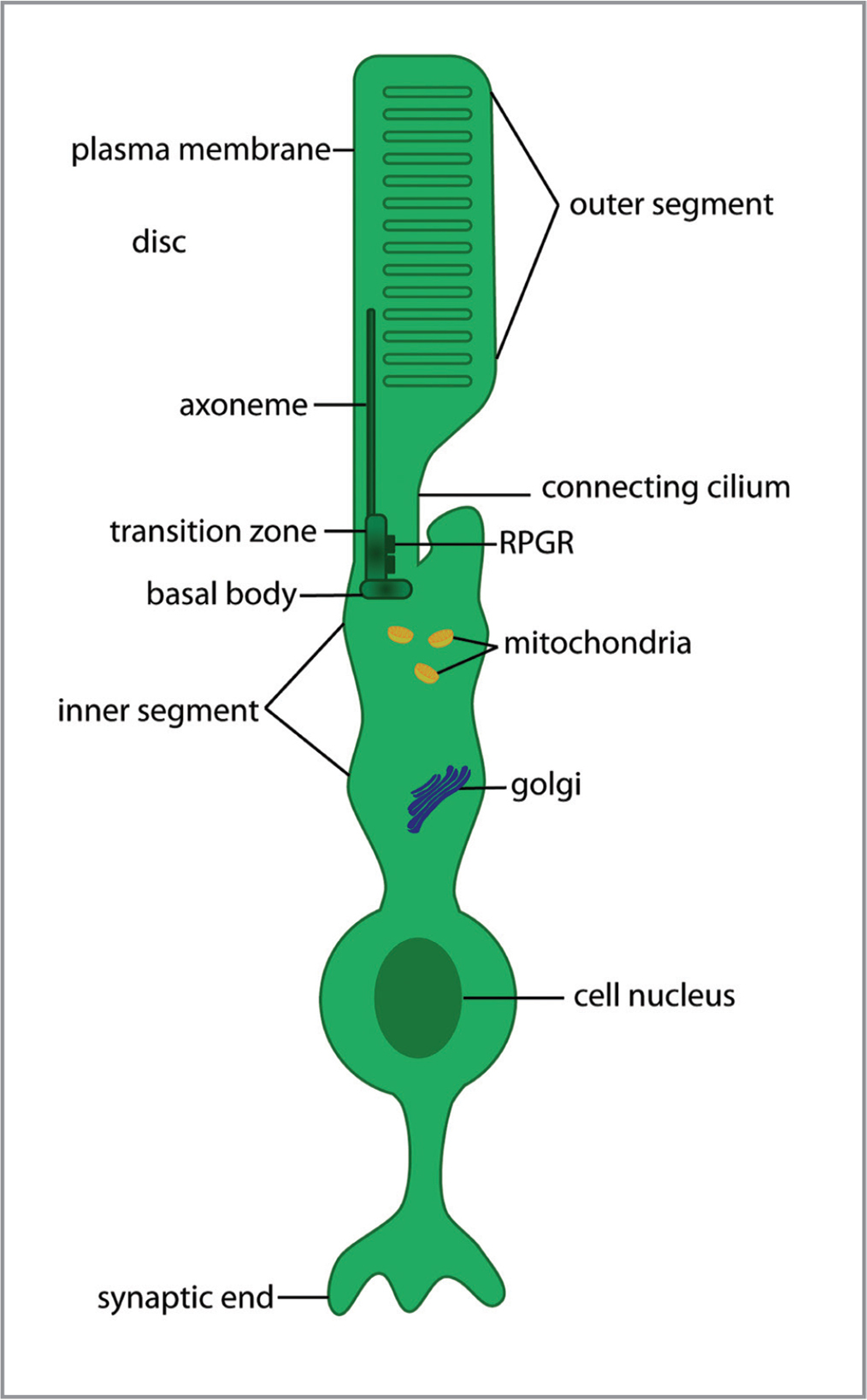 Illustration depicting RPGR localization within rod photoreceptors. Schematic illustration depicting sub-cellular organization of a rod photoreceptor. The outer segment is the light-sensing portion of the cell and is directly adjacent to the retinal pigment epithelium. RPGR is localized predominantly in the photoreceptor cilium and is key for transporting proteins involved in phototransduction to the outer segments.