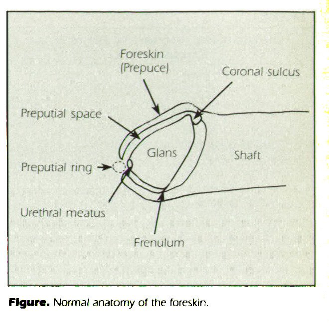 Figure. Normal anatomy of the foreskin.