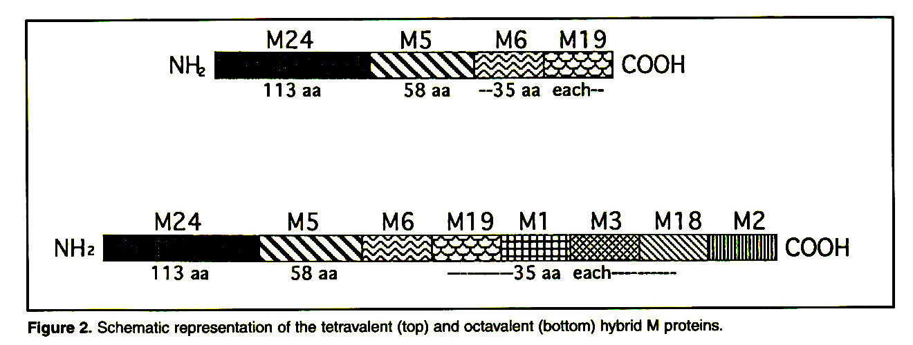 Figure 2. Schematic representation of the tetravaleni (top) and octavafent (bottom) hybrid M proteins.