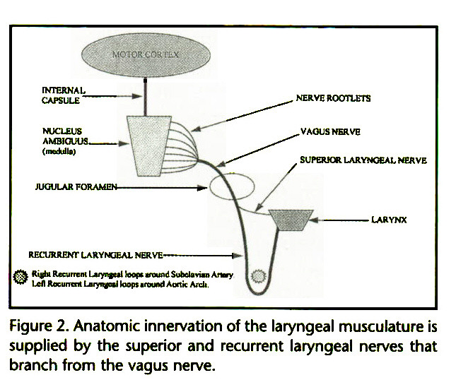 Figure 2. Anatomic innervation of the laryngeal musculature is supplied by the superior and recurrent laryngeal nerves that branch from the vagus nerve.