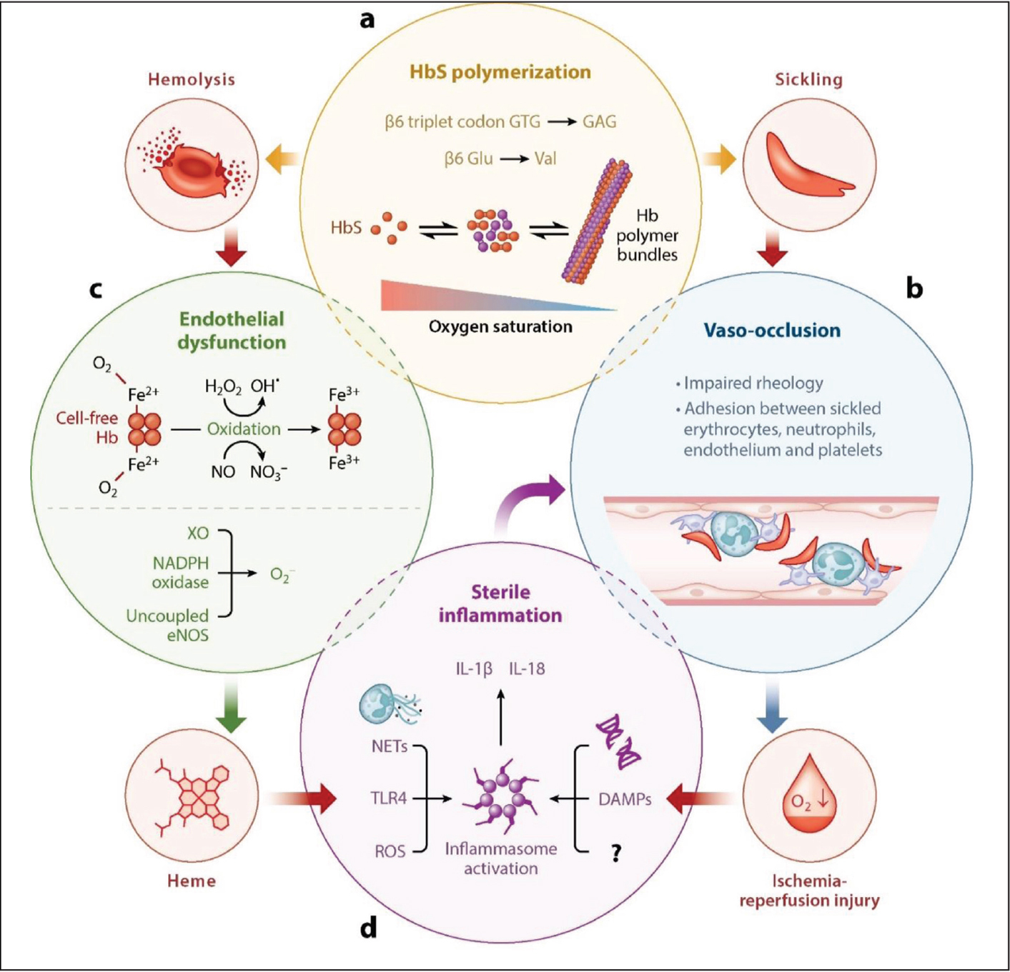 The molecular pathophysiology of sickle cell disease. Reprinted with permision from Sundd et al.23