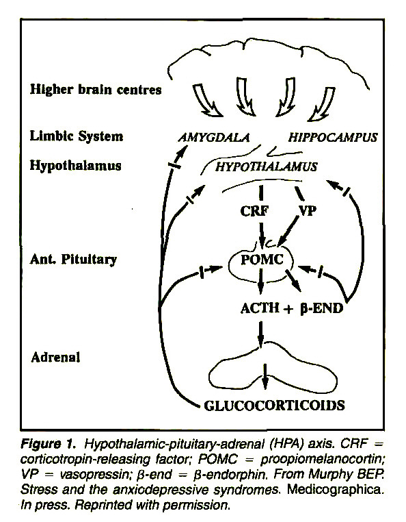 Figure 1. Hypothalamic-pituitary-adrenal (HPA) axis. CRF = corticotropin-releasing factor; POMC = proopiomelanocortin; VP = vasopressin; β-end = β-endorphin. From Murphy BEP. Stress and the anxiodepressive syndromes. Medicographica. In press. Reprinted with pemiission.