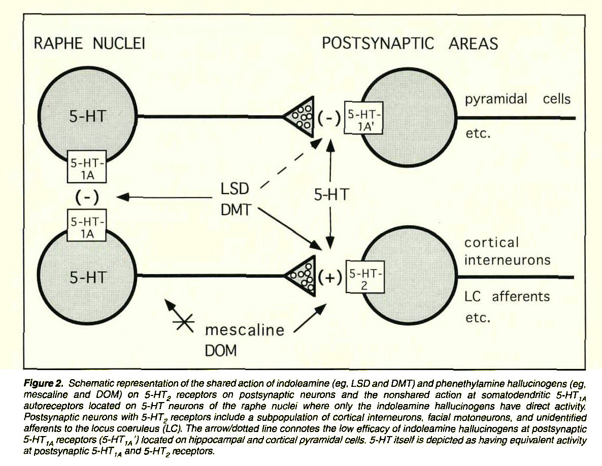 Figure 2. Schematic representation of the shared action of indoleamine (eg, LSD and DMT) and phenethylamine hallucinogens (eg, mescaline and DOM) on 5-HT2 receptors on postsynaptic neurons and the nonshared action at somatodendritic 5-HT,A autoreceptors located on 5-HT neurons of the raphe nuclei where only the indoleamine hallucinogens have direct activity. Postsynaptic neurons with 5-HT2 receptors include a subpopulation of cortical interneurons, facial motoneurons, and unidentified afferents to the locus coeruleus (LC), The arrow/dotted line connotes the low efficacy of indoleamine hallucinogens at postsynaptic 5-HT^sub 1A^ receptors (5-HT^sub 1A^) located on hippocampal and cortical pyramidal cells. 5-HT itself is depicted as having equivalent activity at postsynaptic 5-HT^sub 1A^ and 5-HT2 receptors.