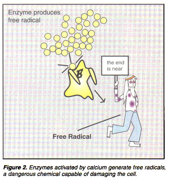 Figure 2. Enzymes activated by calcium generate free radicals, a dangerous chemical capable of damaging the cell.