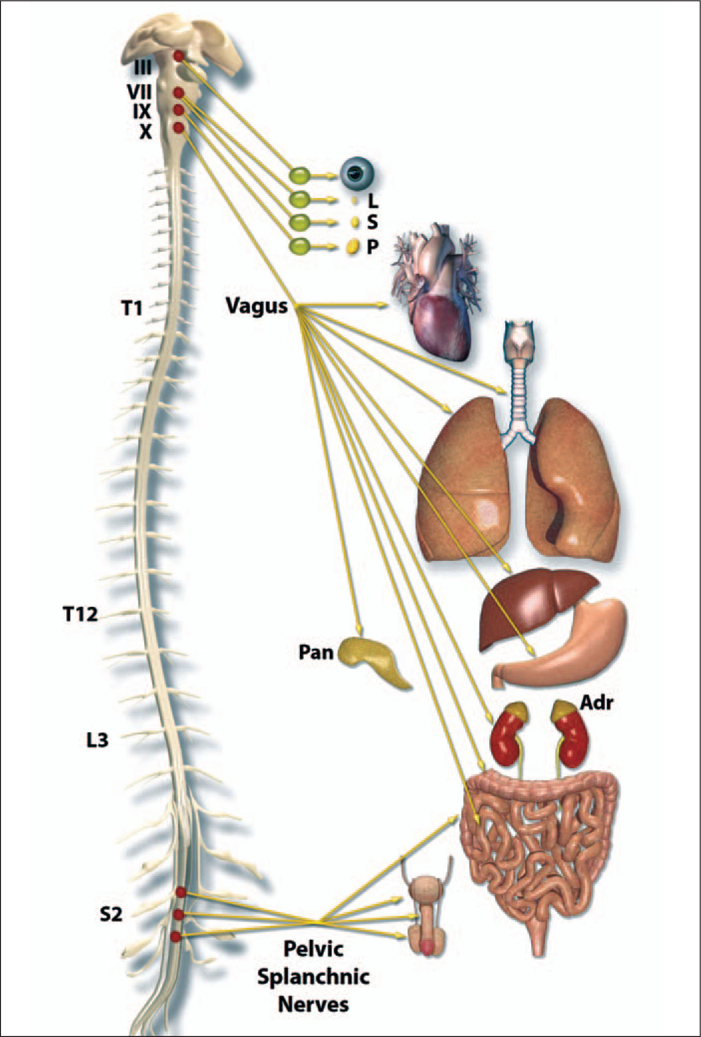 The Parasympathetic Nervous System. Preganglionic Parasympathetic Neurons are Located Primarily in the Brainstem, with an Additional Set Between Spinal Cord Segments S2 to S4. (See Figure 4 Caption for Abbreviations.) A Note from the Editors: All Illustrations in This Article Have Been Created by George I. Viamontes, MD, PhD, for Specific Use in This Issue of Psychiatric Annals.