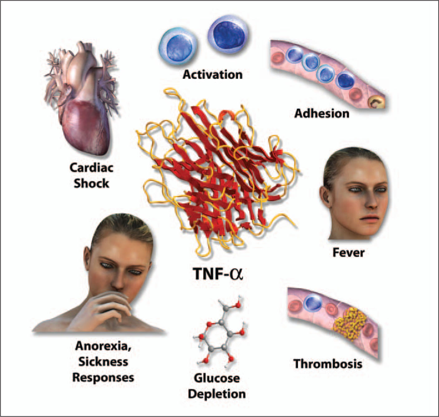 TNF-alpha Is an Early Mediator of Immune Responses. It Is Secreted Primarily by Cells of Innate Immunity, Namely Macrophages, Mast Cells, and Natural Killer Cells. TNF-alpha Recruits Immune System Cells to Sites of Infection by Activating the Cells and Promoting the Expression of Specialized Proteins that Make Immune System Cells Adhere to Endothelium. TNF-alpha Is a Pyrogen, and Therefore Causes Fever. It also Mediates Anorexia and a Variety of Other Sickness Symptoms. when It Is Present in the Circulation at High Concentrations, TNF-alpha Can Precipitate Extremely Low Glucose Levels. It Can Cause the Decreases in Cardiac Contractility and Blood Pressure that Characterize Septic Shock. TNF-alpha Induces the Production of IL-1. A Note from the Editors: All Illustrations in This Article Have Been Created by George I. Viamontes, MD, PhD, for Specific Use in This Issue of Psychiatric Annals.