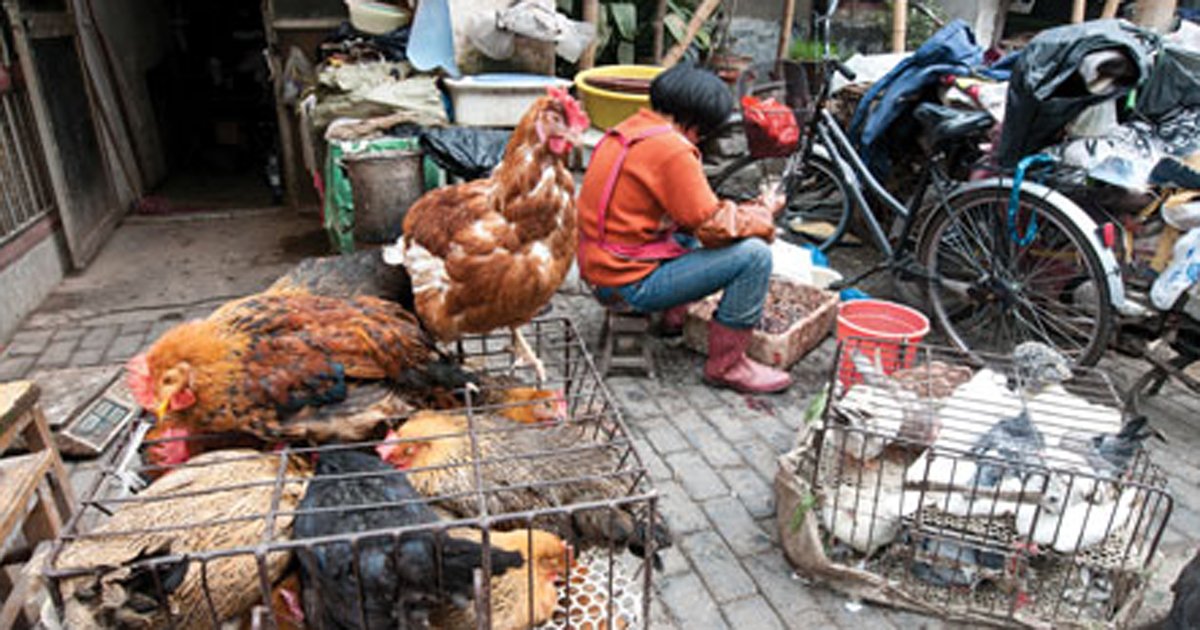 chickens in China