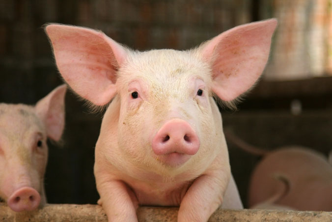 picture of a domestic pig