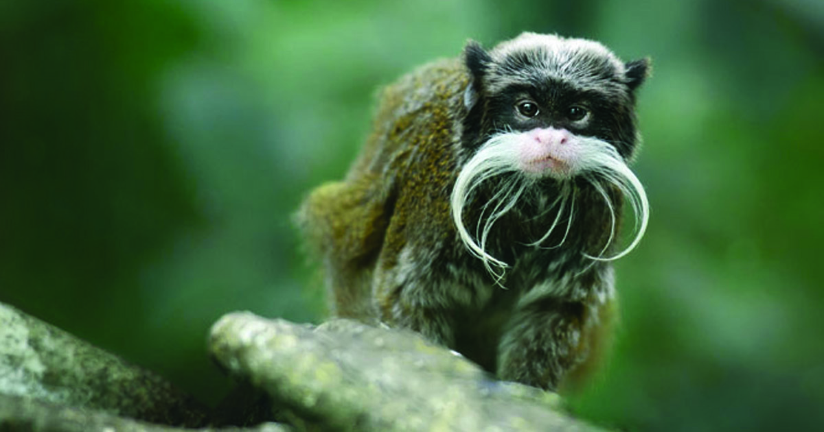 mustached monkey from Cameroon